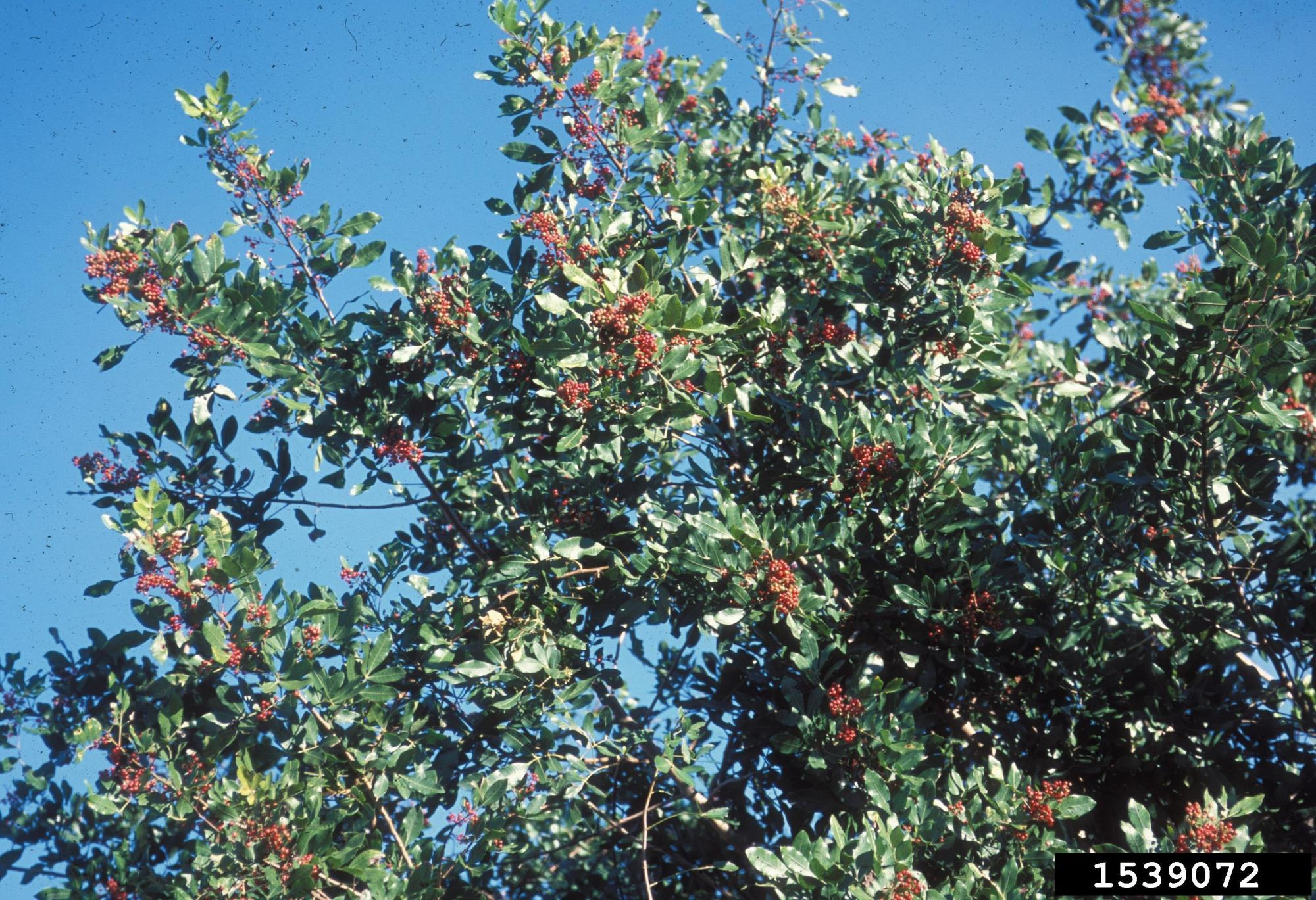 Brazilian Pepper Tree with Ripened Fruit