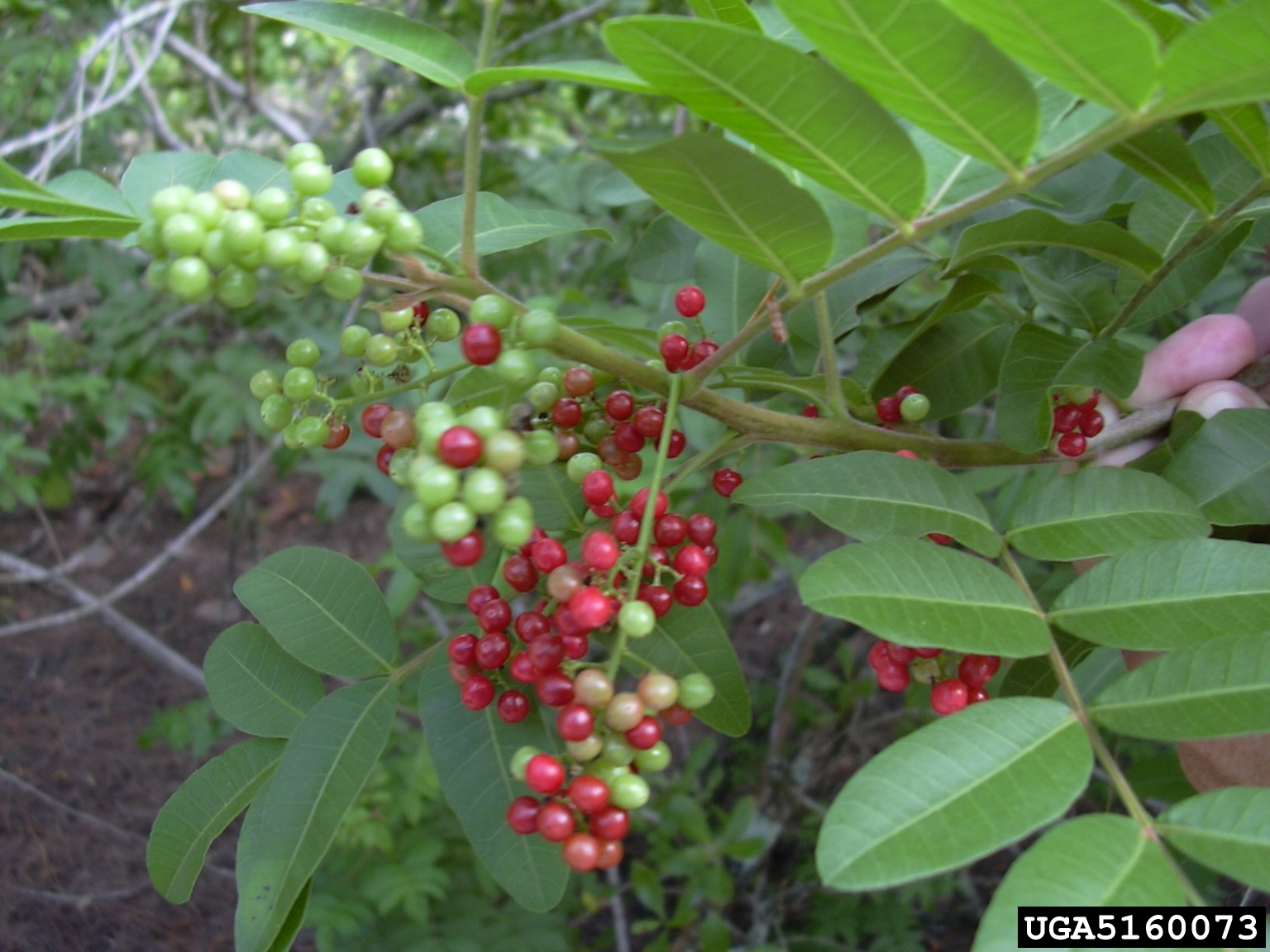 Brazilian Pepper Tree with Immature and Ripened Fruit